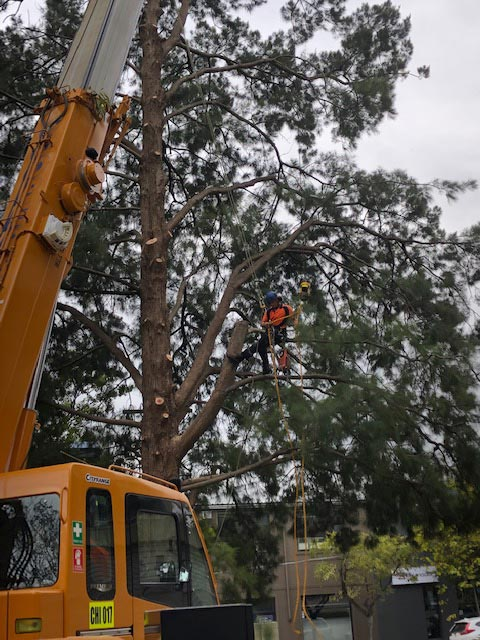 tree removal northern beaches sydney