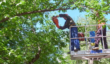 tree services northern beaches lopping